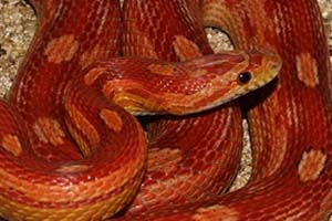 Motley corn snake on a wood chip bedding
