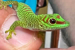 Day gecko on wooden ornament