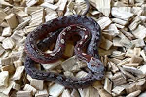 diffused tessera corn snake on a wood chip