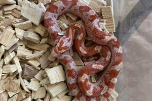 Fire corn snake on a wood chip bedding