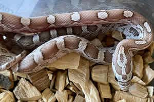 Ghost corn snake on a wood chip bedding