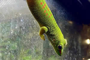 Giant day gecko in its enclosure