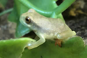 Gold Eye tree frog in its enclosure