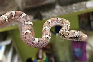 granite corn snake in its enclosure