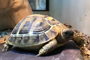 Red foot tortoise on a wooden bedding