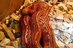 Hypo diffused tessera corn snake in its enclosure