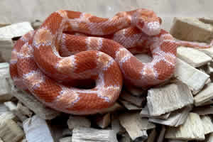 Inferno snake on wood chip