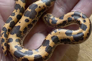 sand boa being handled