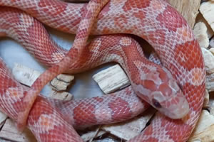 Lava corn snake in its enclosure