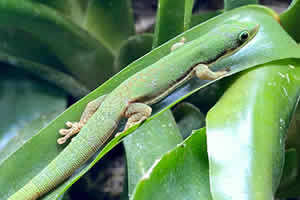 Lined day gecko in its enclosure