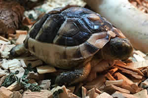 Marginated tortoise on a wooden bedding