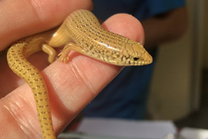 Oscellated skink being handled