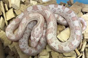 Peppermint corn snake on a woodchip bedding