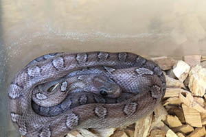 Pewter Corn Snake on a wood chip bedding