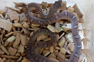 Caramel Charcoal Pied corn snake in its enclosure