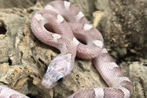 plasma corn snake on bark