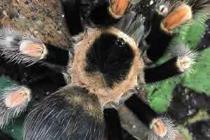 Mexican Red Knee tarantula in its encosure