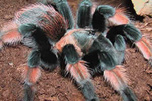 Red Leg tarantula on a husk bedding