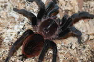 Mexican red rump tarantula on a husk bedding