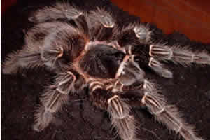 Salmon pink tarantula on its substrate