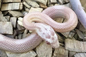 snow corn snake in its enclosure