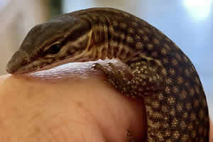 Spiny Tail Monitor being handled