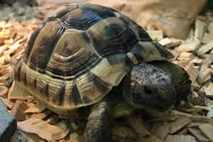 Spurthigh tortoise on a wooden bedding