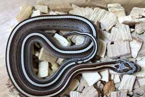 Common corn snake in its enclosure