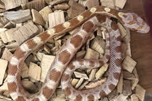Sulfur corn snake on a woodchip bedding