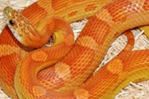 Sunkissed corn snake on a wood chip bedding