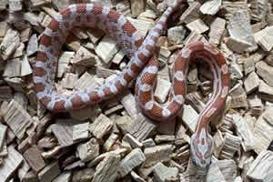 ultra corn snake on a wood chip bedding
