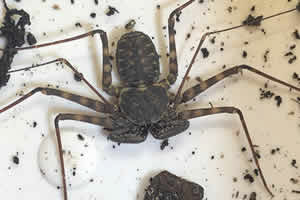 Mexican Whip Tail Scorpion on a soil bedding