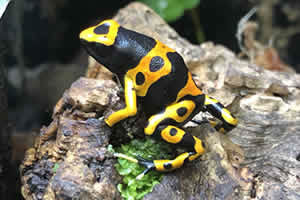 Yellow and black poison arrow frog on a moss bedding