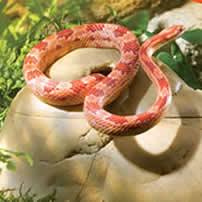 Corn Snakes Frozen Food Vivariums The Reptile Centre