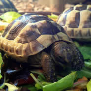 horsfields tortoise care sheets