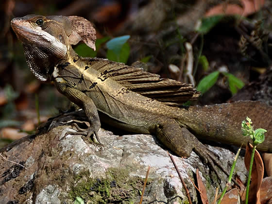 Adult brown basilisk