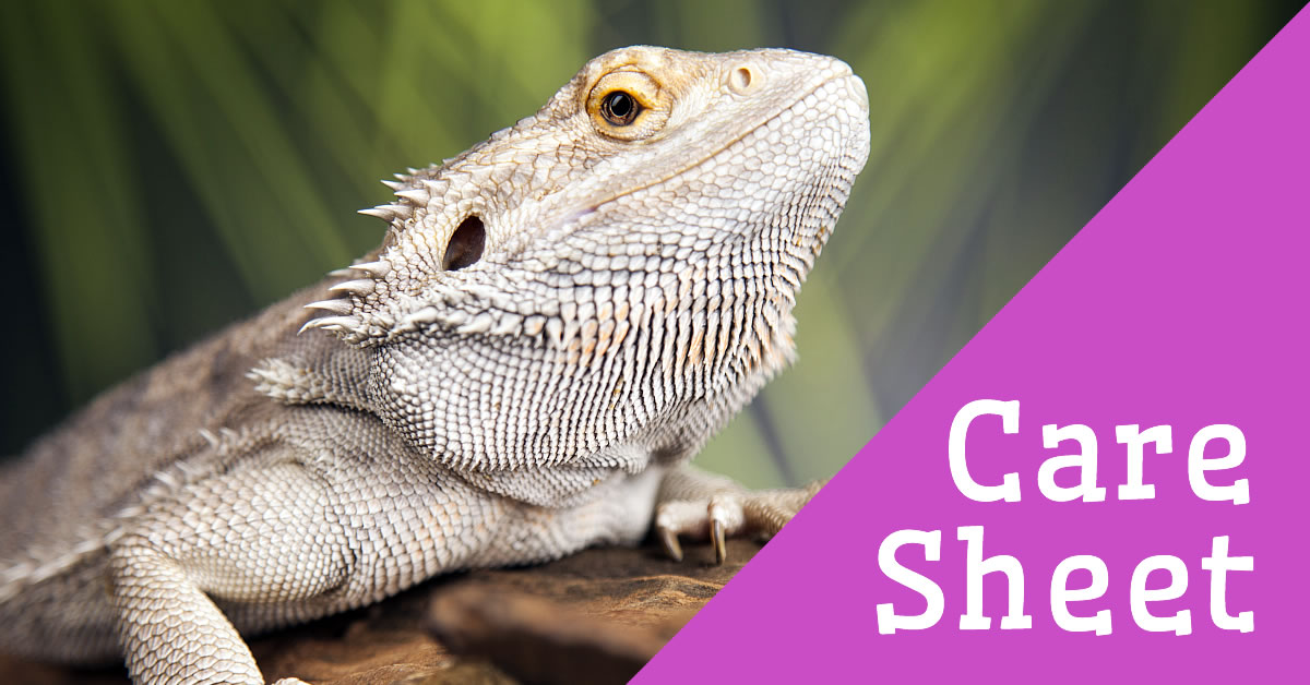 Bearded Dragon Care Sheet | Reptile Centre