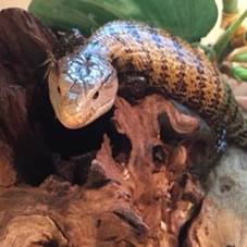blue tongue skink decorations