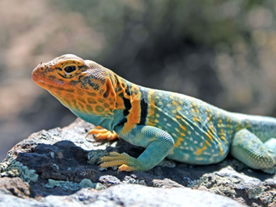 adult collared lizard