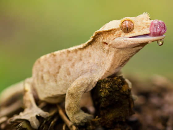 adult crested gecko