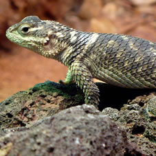 collared lizard decorations