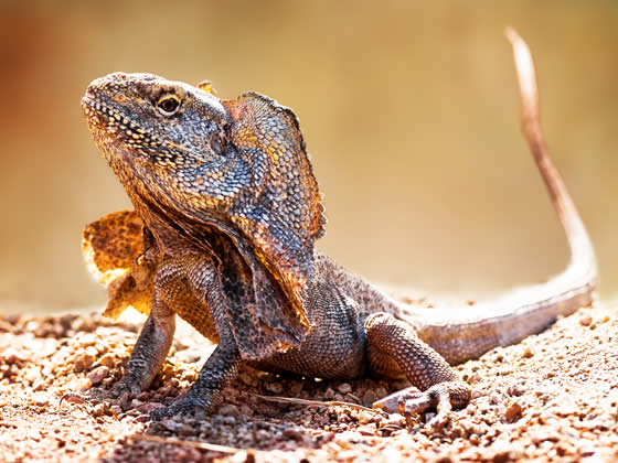 Frilled dragon adult