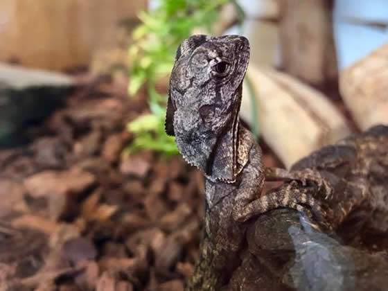 Frilled dragon baby
