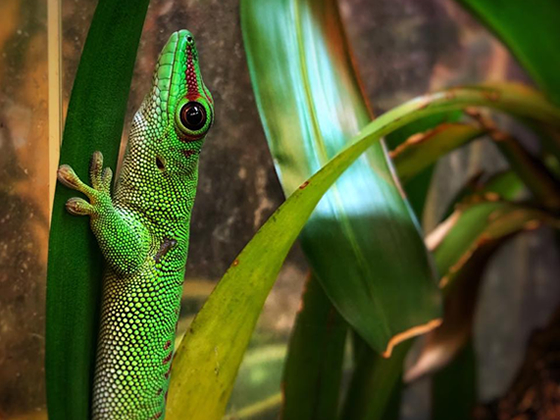 adult Giant Day gecko