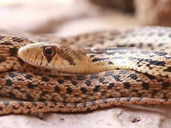 adult Gopher snake