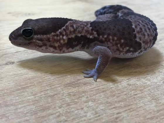 baby fat tailed gecko