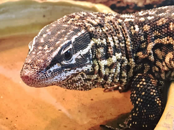 adult spiny-tailed monitor