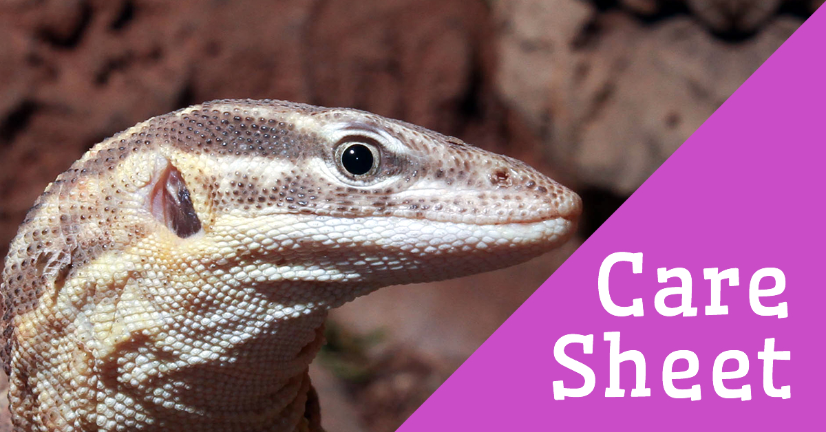 Spiny-tailed Monitor Care Sheet | Reptile Centre