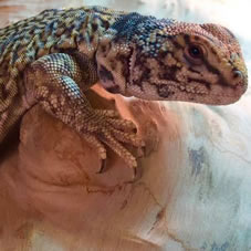 Moroccan uromastyx decorations