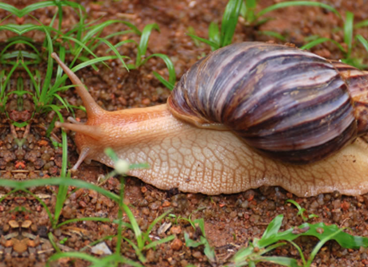 African Land Snail Care Sheet   Reptile Centre